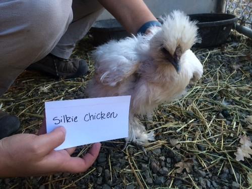 Silky chick