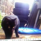 Cat found black gifford springs k noble